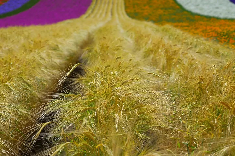 - ทุ่งลาเวนเดอร์ โทมิตะฟาร์ม Tomita Farm -